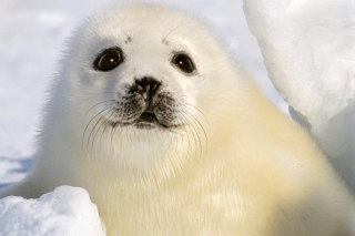 Baby Seal Background for Android, iPhone and iPad