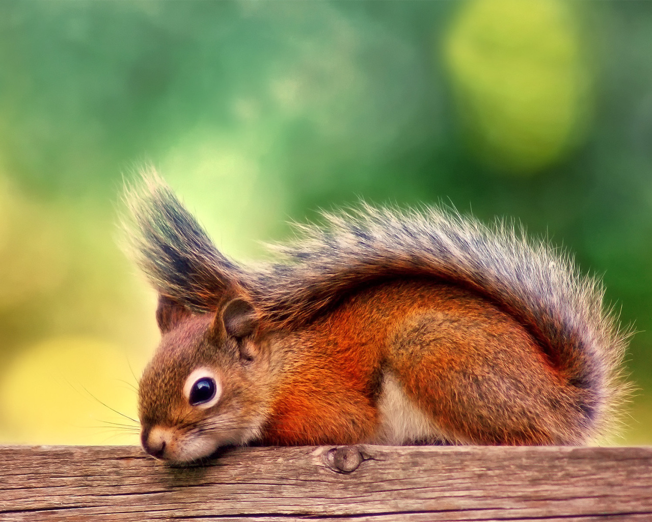 Screenshot №1 pro téma American red squirrel 1280x1024
