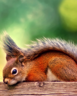 American red squirrel - Fondos de pantalla gratis para iPhone 4S