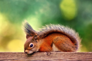 American red squirrel Background for Android, iPhone and iPad