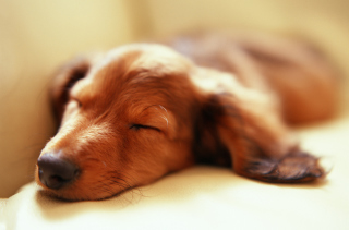 Free Sleeping Dog Picture for 220x176