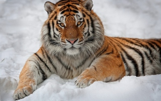 Siberian Tiger Background for Android, iPhone and iPad
