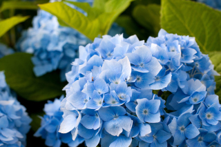 Hydrangea Macro Background for Android, iPhone and iPad