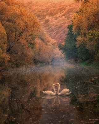 Обои Swans on Autumn Lake на телефон Nokia C-Series