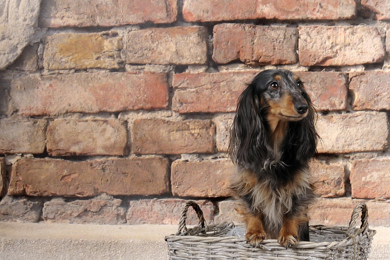 Стена животное собака бесплатно