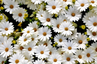 Free White Daisies Picture for Android, iPhone and iPad