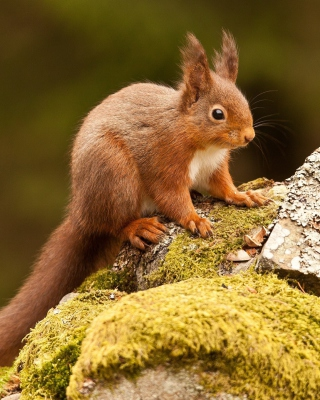 Eurasian red squirrel - Fondos de pantalla gratis para iPhone 4S