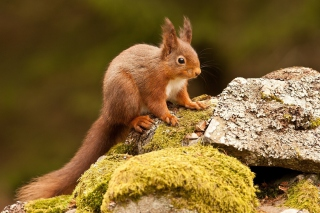 Eurasian red squirrel Background for Android, iPhone and iPad
