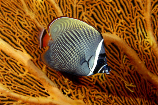 Butterflyfish In Vietnam sfondi gratuiti per cellulari Android, iPhone, iPad e desktop
