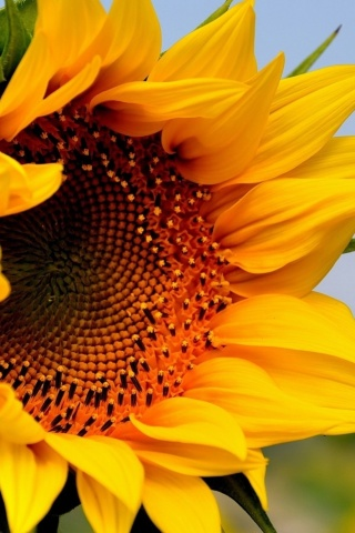 Sfondi Sunflower Closeup 320x480