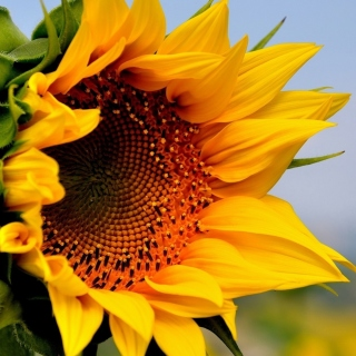 Sunflower Closeup sfondi gratuiti per iPad Air