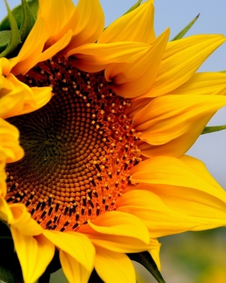 Free Sunflower Closeup Picture for Nokia Asha 310