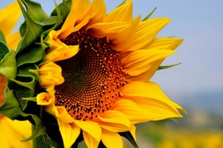Sunflower Closeup Background for Desktop 1280x720 HDTV