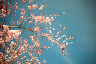 Blossom Tree Wallpaper for Android, iPhone and iPad