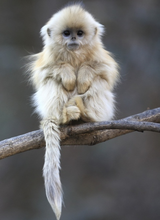 Cute Little Monkey Is Cold Background for 240x320