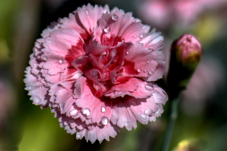 Carnation Flowers Wallpaper for Motorola DROID 3