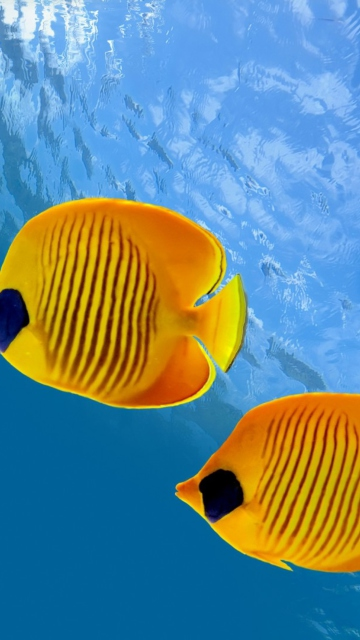 Screenshot №1 pro téma Tropical Golden Fish 360x640