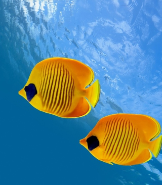 Tropical Golden Fish - Fondos de pantalla gratis para 640x960