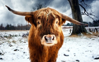 Highland Cow Wallpaper for Android, iPhone and iPad