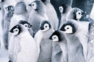 Frozen Penguins Wallpaper for Android, iPhone and iPad