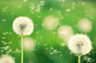Dandelion Time Background for Android, iPhone and iPad