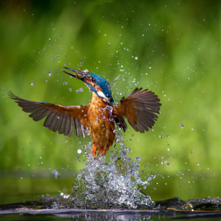 Common Kingfisher Wallpaper for iPad mini 2
