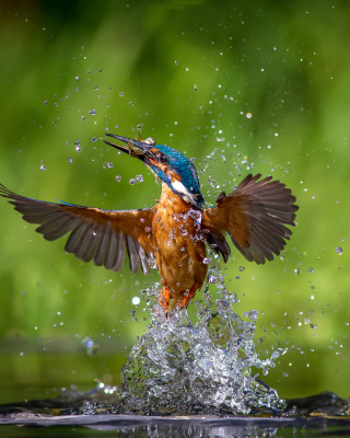 Free Common Kingfisher Picture for 240x320