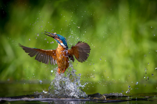 Common Kingfisher Background for Samsung B7510 Galaxy Pro