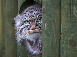 Pallas's Cat Or Manul Wallpaper for Android, iPhone and iPad