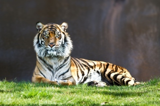 Free Tiger Staring Picture for Android, iPhone and iPad