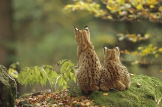 Free Lynx Family Picture for Android, iPhone and iPad