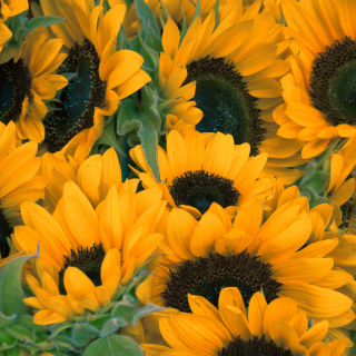 Sunflowers sfondi gratuiti per iPad mini