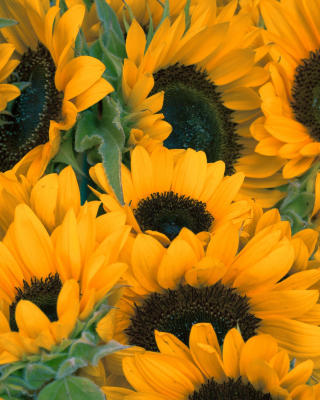 Sunflowers sfondi gratuiti per iPhone 6 Plus