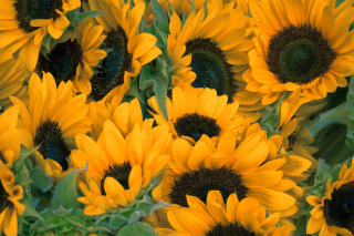 Free Sunflowers Picture for Android, iPhone and iPad