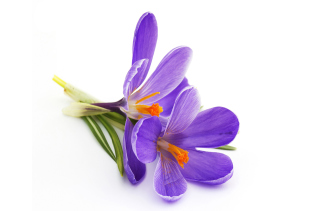 Spring Blooming Crocus Background for 960x854