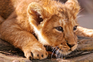 Baby Lion Wallpaper for Android, iPhone and iPad