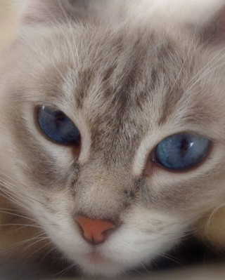 Cat With Blue Eyes Wallpaper for 176x220