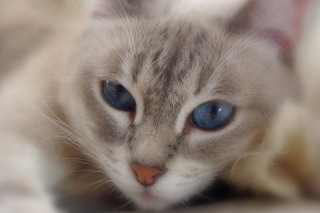 Cat With Blue Eyes Wallpaper for Nokia Asha 200