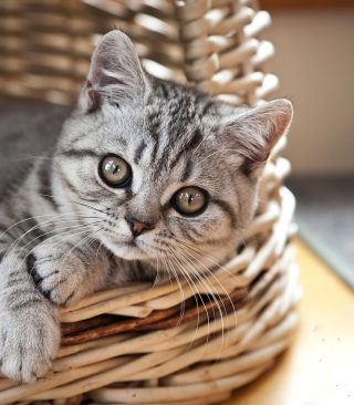 Cat in Basket Background for HTC Titan