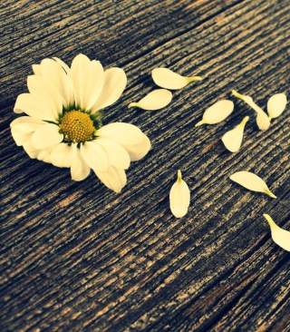 Daisy On Wood Wallpaper for iPhone 5