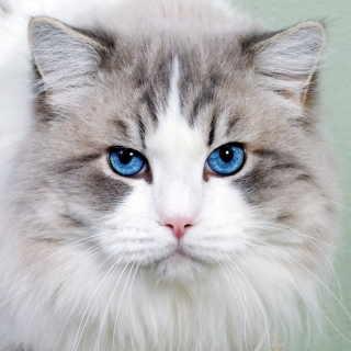 Cat with Blue Eyes - Fondos de pantalla gratis para 1024x1024