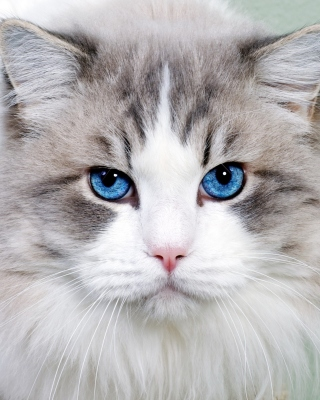 Cat with Blue Eyes Wallpaper for Nokia Asha 306