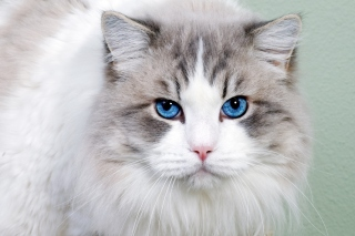 Cat with Blue Eyes Background for Android, iPhone and iPad