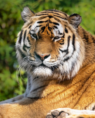 Malay Tiger at the New York Zoo Wallpaper for Nokia C-5 5MP