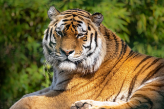 Malay Tiger at the New York Zoo Background for Android, iPhone and iPad