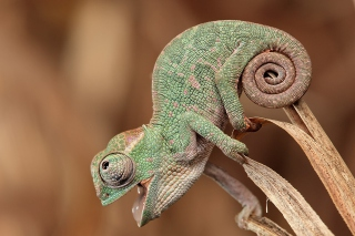 Free Chameleon Macro Picture for Android, iPhone and iPad