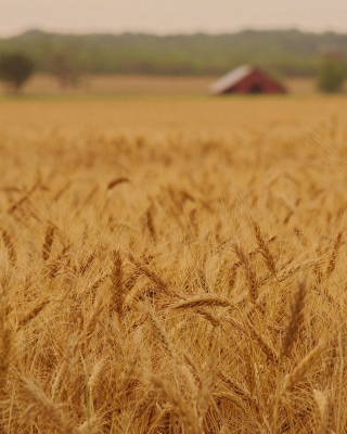 Ears of rye and wheat - Fondos de pantalla gratis para Nokia Asha 308
