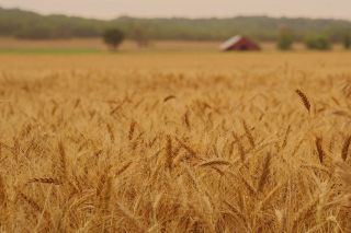 Ears of rye and wheat - Fondos de pantalla gratis para HTC Incredible S