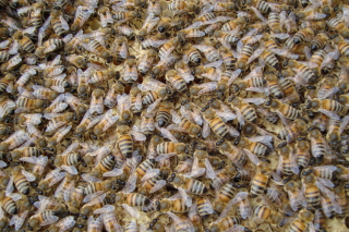 Bees Picture for Android, iPhone and iPad