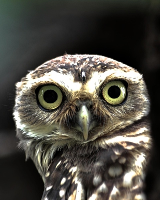 Big Eyed Owl Wallpaper for 1080x1920